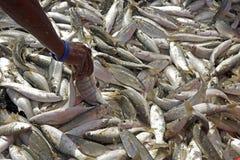 Pesce pescato nelle reti Fotografia Stock
