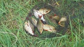 Pesce pescato sulla riva in una gabbia di pesca su erba verde archivi video