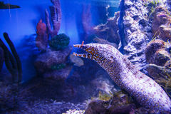 Pesce piacevole in acqua blu vicino a rif Fotografie Stock Libere da Diritti