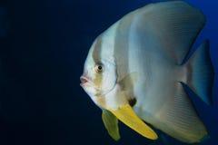Pesce pipistrello di Longfin Fotografie Stock