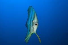 Pesce pipistrello di Longfin Fotografia Stock