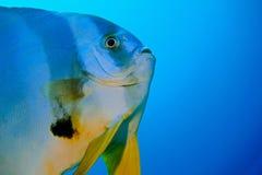 Pesce pipistrello lungo dell'aletta immagine stock libera da diritti
