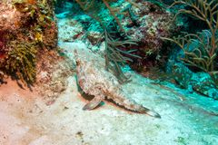 Pesce pipistrello a punta lunga visto in barriera corallina di Belize fotografia stock libera da diritti