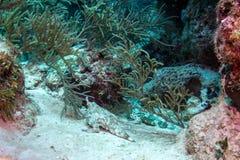 Pesce pipistrello a punta lunga visto in barriera corallina di Belize fotografie stock libere da diritti