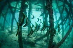 Pesce pipistrello sotto il pilastro fotografia stock