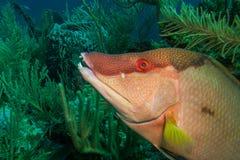 Pesce porco Immagini Stock