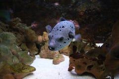 Pesce porpora Fotografia Stock