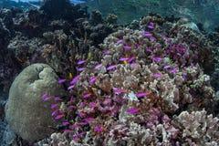 Pesce porpora sulla scogliera tropicale bassa Immagine Stock Libera da Diritti