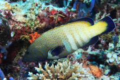 Pesce posteriore della cernia del pavone fotografie stock