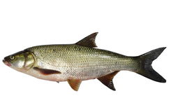 Pesce predatore di asp Immagini Stock Libere da Diritti