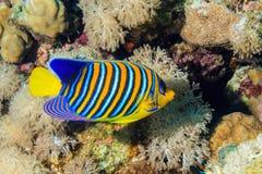 Pesce reale di angelo Immagine Stock