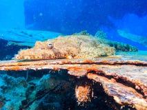Pesce rocodile del ¡ di Ð Fotografia Stock Libera da Diritti