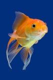 Pesce rosso immagine stock libera da diritti