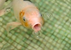 Pesce rosso bianco che galleggia nello stagno Fotografia Stock Libera da Diritti