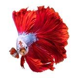 Pesce rosso del drago di mezzaluna Fotografie Stock Libere da Diritti