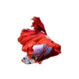Pesce rosso del drago di mezzaluna Immagine Stock