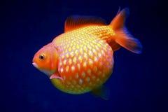 Pesce rosso del pearlscale della palla da golf Fotografie Stock