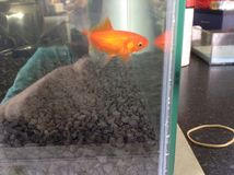 Pesce rosso dell'oro Fotografia Stock Libera da Diritti
