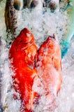 Pesce rosso della cernia Fotografia Stock