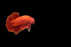 Pesce rosso di betta Immagini Stock
