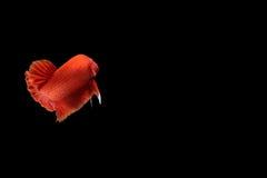 Pesce rosso di betta Fotografie Stock Libere da Diritti