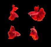 pesce rosso di betta del Siam del primo piano bello piccolo con l'isolato Fotografia Stock