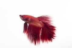Pesce rosso di betta isolato su fondo bianco Fotografia Stock Libera da Diritti