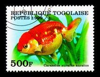 Pesce rosso di Lionchu (carassius auratus), serie del pesce rosso, circa 1999 Immagini Stock Libere da Diritti