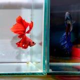 Pesce rosso di lotta Immagini Stock Libere da Diritti