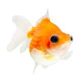 Pesce rosso di Pearlscale del telescopio Fotografia Stock