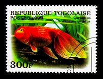 Pesce rosso di Pearlscale Veiltail (carassius auratus), serie del pesce rosso Immagini Stock