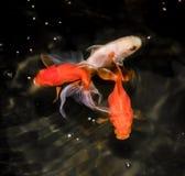 Pesce rosso di vista superiore Immagini Stock Libere da Diritti