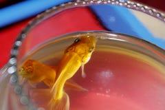 Pesce rosso due sulla piccola ciotola fotografia stock