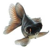Pesce rosso nero immagine stock immagine di freschezza for Pesce oranda