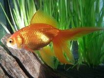 Pesce rosso operato & x27; Aqua& x27; fotografie stock