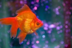 Pesce rosso rosso fotografie stock