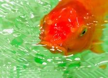 Pesce rosso rosso che galleggia nello stagno Immagini Stock
