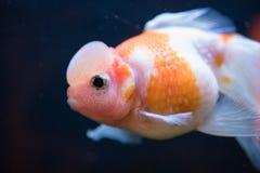 Pesce rosso rosso e bianco di Pearlscale della corona Fotografia Stock Libera da Diritti