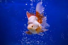 Pesce rosso Ryukin Fotografia Stock