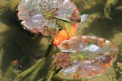 Pesce rosso in stagno all'aperto Fotografia Stock Libera da Diritti