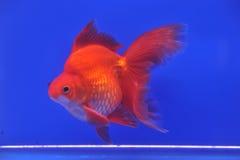 Pesce rosso rosso di oranda fotografia stock immagine di for Pesce oranda