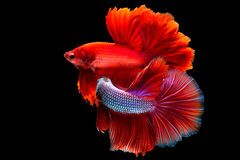 Pesce saimese muoventesi di combattimento due Fotografie Stock