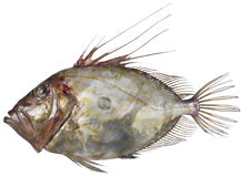 Pesce San Pietro. Beautiful St. Peter's fish on white background Stock Image