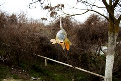 Pesce Sazan del fiume immagini stock libere da diritti