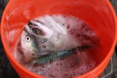 Pesce in secchio Fotografia Stock