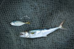 Pesce secco e salato e reti da pesca sui precedenti di legno Immagine Stock