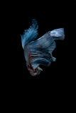 Pesce siamese blu di combattimento isolato su fondo nero Betta f Immagine Stock