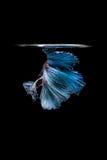 Pesce siamese blu di combattimento isolato su fondo nero Betta f Fotografia Stock