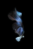 Pesce siamese blu di combattimento, pesce di betta isolato sul nero Immagine Stock