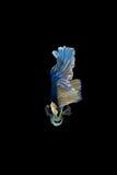 Pesce siamese blu e giallo di combattimento isolato sul backgrou nero Immagini Stock Libere da Diritti